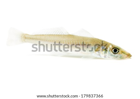 Japanese whiting-Sillago japonica, This image is available for clipping work.  - stock photo