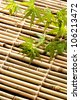 japanese young maple on bamboo - stock photo