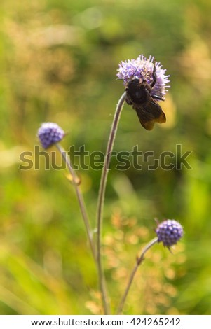 Jasione montana flower with a red-tailed bumblebee on a summer meadow - stock photo