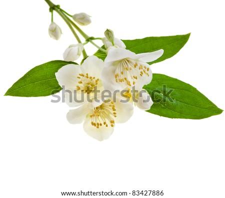 jasmine blossom isolated on white - stock photo