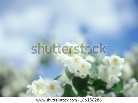 Jasmine blossoms close-up against the blue sky.