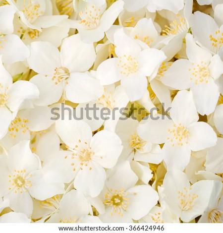 Jasmine flower - stock photo