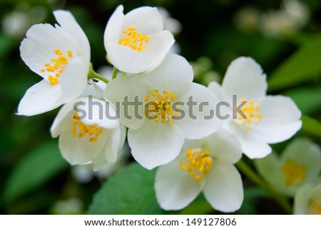 Jasmine flower and green leaves, close up - stock photo