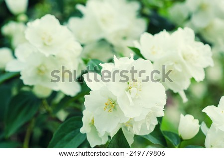 Jasmine flower growing on the bush in  garden, natural floral background - stock photo
