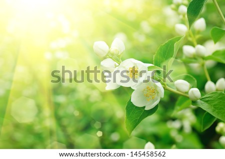 Jasmine flower growing on the bush in  garden with sun rays and bokeh - stock photo