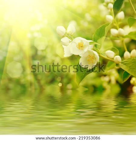 Jasmine flower growing on the bush in  garden with sun rays and  water reflection - stock photo