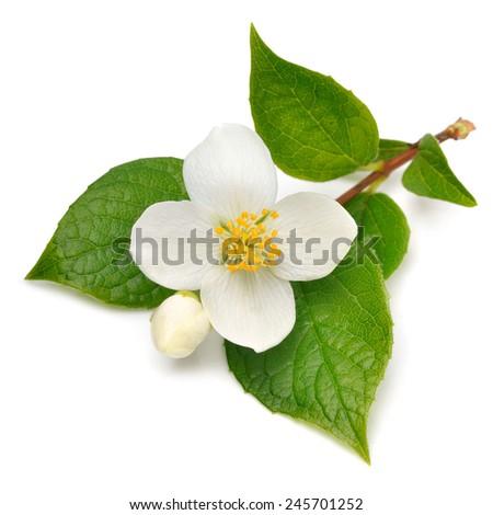 Jasmine flower isolated on white - stock photo