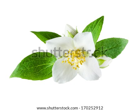 Jasmine flower on white background - stock photo