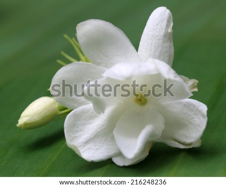 Jasmine flower with bud on green leaf