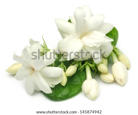Jasmine flower with leaves - stock photo