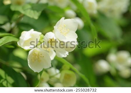 jasmine flowers on the bush closeup, summer photo - stock photo