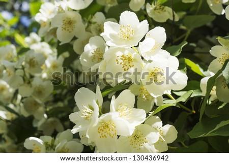 jasmine white flower bush blossoms at spring - stock photo