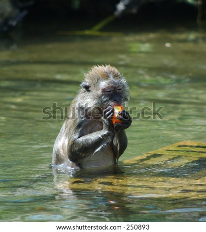 Java macaque eating easter egg - stock photo