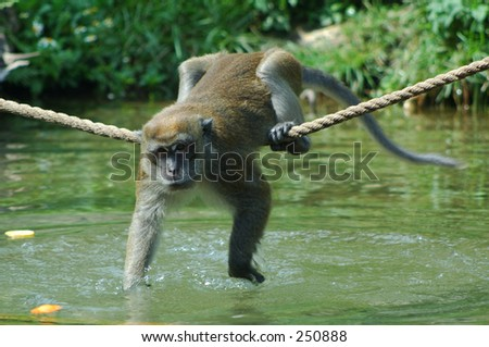 Java Macaque reaching for food - stock photo