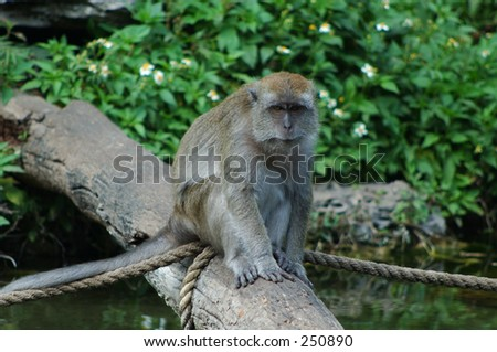 Java Macaque sitting on log - stock photo