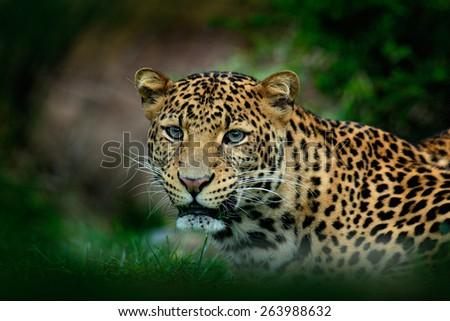 Javan leopard, Panthera pardus melas, portrait of cat - stock photo