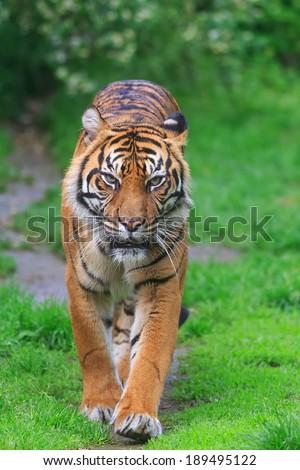 Javanese tiger is walking - stock photo
