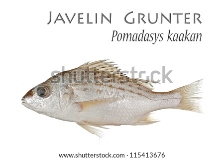 Javelin  Grunter. Unsharpened file.