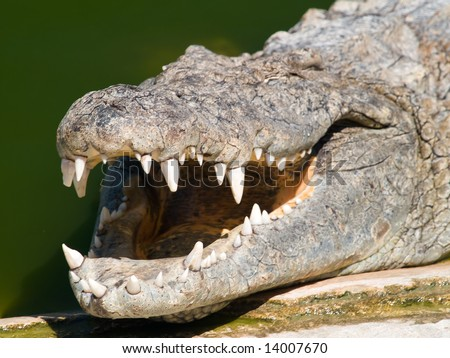 jaw of an african crocodile - stock photo