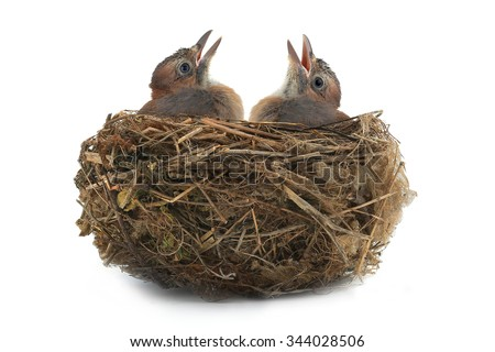 jay's nest with baby birds isolated on a white background - stock photo