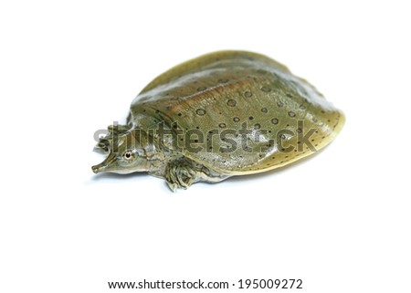 jejune Chinese soft-shelled turtle isolated in white background - stock photo
