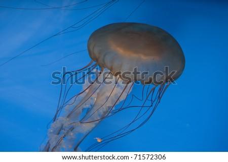 Jellies (Pacific Sea Nettle) at an aquarium. - stock photo