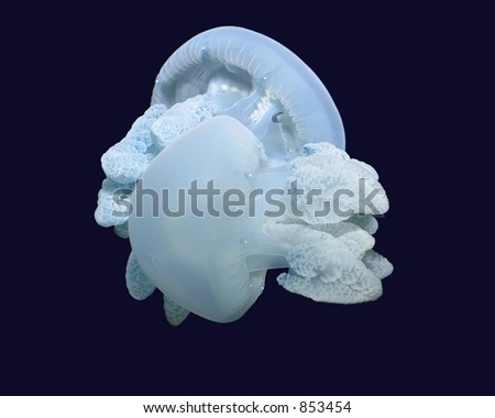Jelly fish pair - stock photo