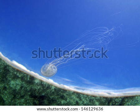 Jellyfish underwater swimming close to the surface with ocean floor reflected and blue sky, Caribbean sea, natural scene - stock photo