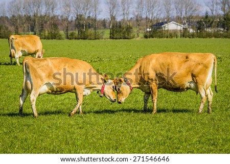 Jersey cattle head to head on a green field in the spring - stock photo