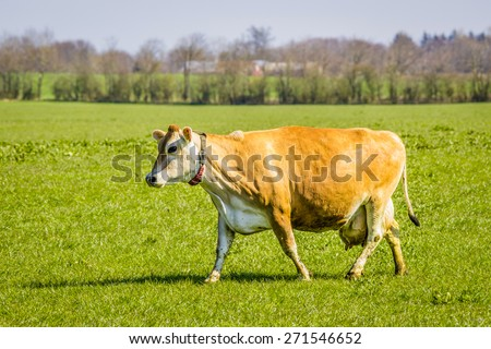 Jersey cow on a green field in the spring - stock photo