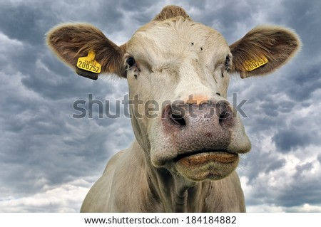 Jersey Cow portrait - Against dark clouds in the English countryside - UK - stock photo