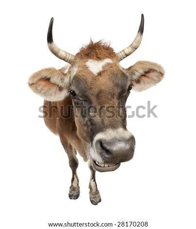 Jersey cow (10 years old) in front of a white background