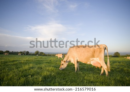 Jersey cows grazing in rural field - stock photo