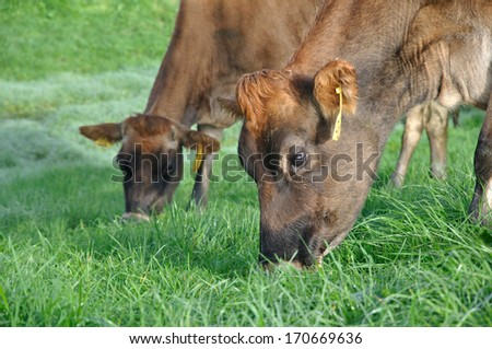 Jersey cows on pasture, West Coast, New Zealand - stock photo