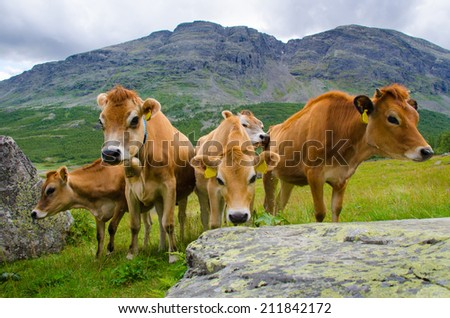 Jersey Cows with mountain - stock photo