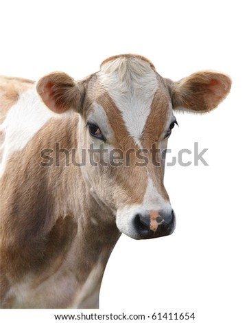 Jersey Heifer isolated with clipping path - stock photo
