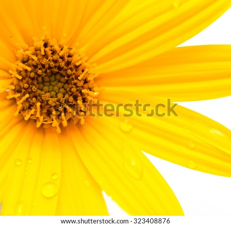 Jerusalem artichoke flower on a white background