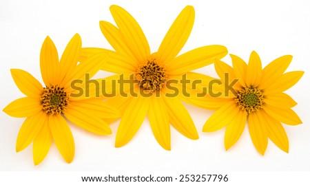 Jerusalem artichoke flowers on a white background - stock photo