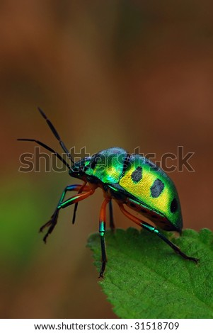 Jewel bug commonly found in the tropical continents - stock photo