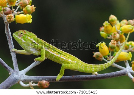 Jeweled Chameleon (Furcifer lateralis) in the Anja Reserve, central Madagascar - stock photo