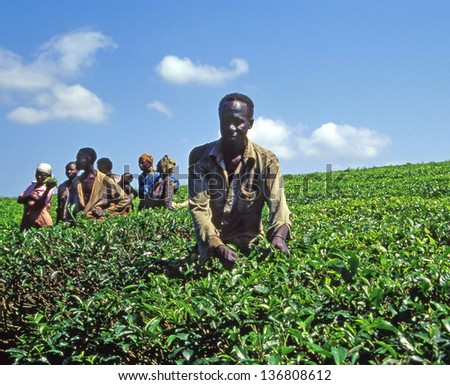 JINJA, UGANDA - JULY 27: unidentified workers at a tea plantation near the town of Jinja on July 27, 2004 in Buikwe region, Uganda, Eastern Africa. Tea is export item of Uganda - stock photo