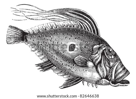 John Dory or Saint Pierre Fish or Saint Peter Fish or Zeus faber, vintage engraving. Old engraved illustration of a John Dory fish. Trousset encyclopedia (1886 - 1891).
