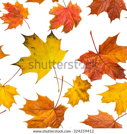 Jointless texture of multicolored maple leaves for natural background.