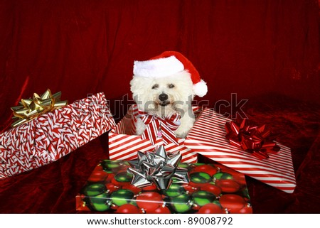 Jolie a pure breed Bichon Frise wears Her Santa Hat, Christmas Bow and sits inside a christmas present box wishing everyone a Very Merry Christmas and Happy Holiday Season, against  Red Velvet - stock photo