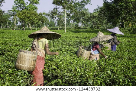 JORHAT, INDIA - AUGUST 30: Unidentified harvesters pick the second flush of tea leaves at the end of the monsoons on August 30, 2011 in a plantation near Jorhat in Assam, India on a bright sunny day. - stock photo