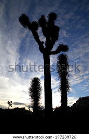 Joshua tree family and sky - stock photo