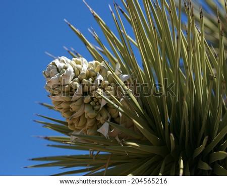 Joshua Tree flowers, Joshua Tree National Park, California, USA - stock photo