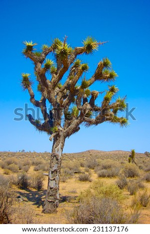 Joshua Tree grows in the midst of southern California's Mojave Desert.  - stock photo