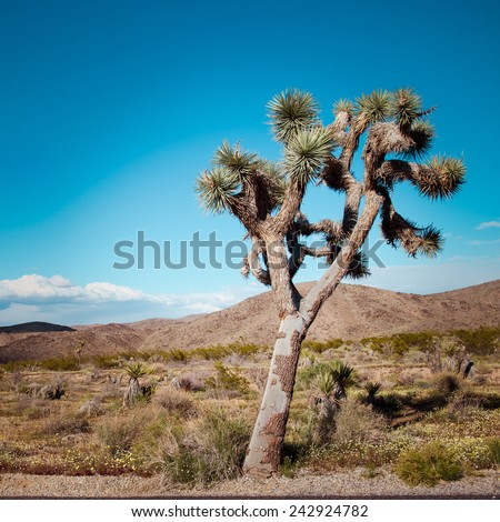 Joshua Tree in Joshua Tree National Park, California - stock photo