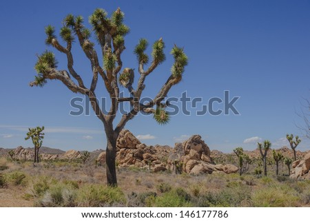Joshua tree, Joshua Tree National Park, CA, USA - stock photo
